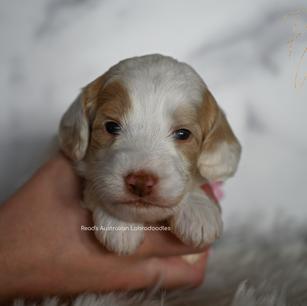 Princess White baby pink 3 week.png