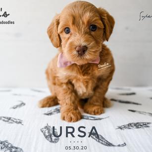 REVISED Ursa 5 weeks.png