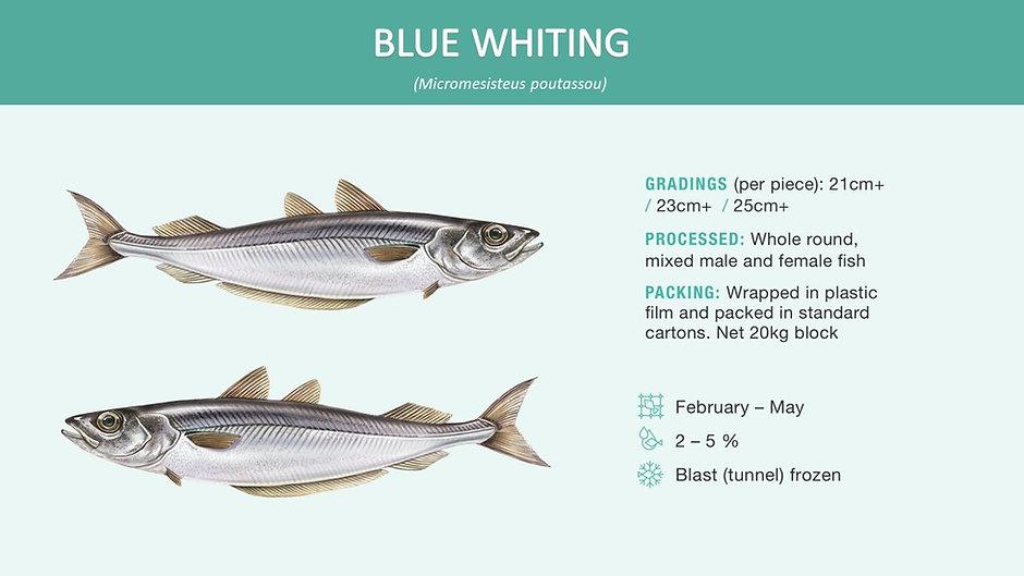 blue whiting.jpg