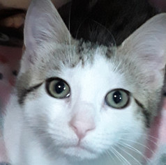 Ms. Sparkle is the Cattalac of Kittens.. 4 months Sweet as Sugar