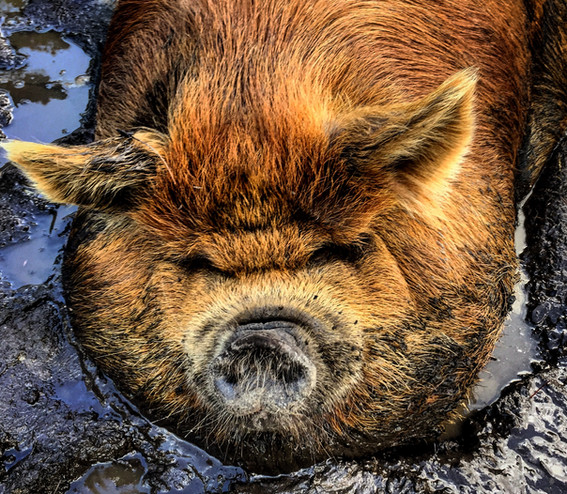 Penny gettin' dirty and being an awesome pig