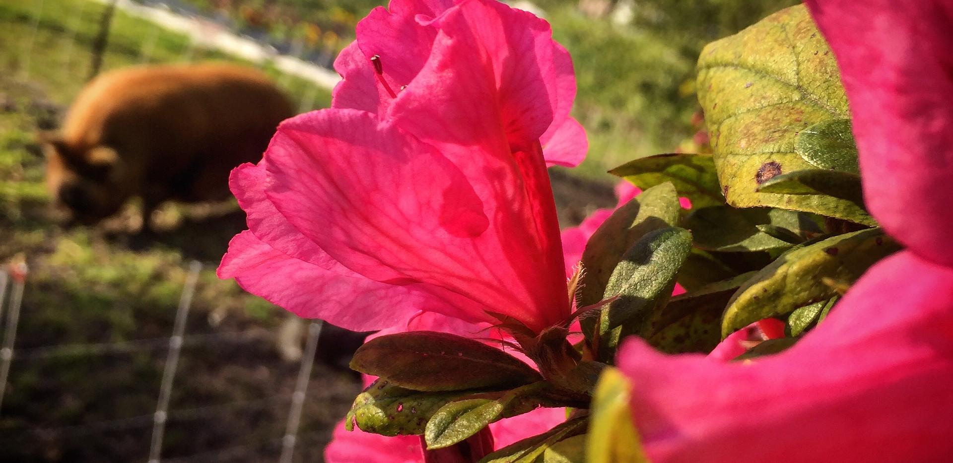 Kunekune's love flowers!
