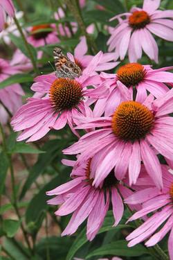 N.C. Native Plant Society