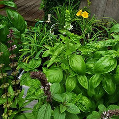 Basil - mixed varieties.jpg