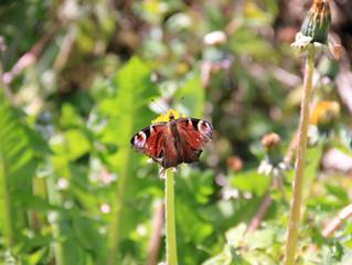 Vlinders in de tuin !
