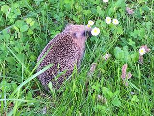 Een egel in de tuin !