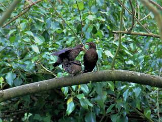 Een nest merels in onze takkenril !