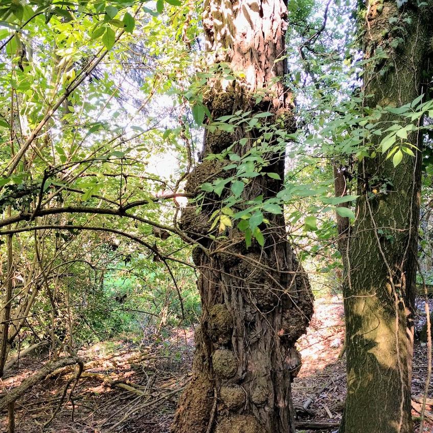 boom met mazelen