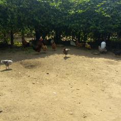 Free range chicken rearing