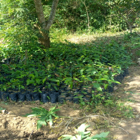 Mango Tree Nursery