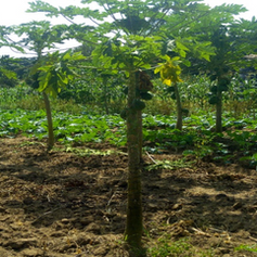 Paw Paw Trees and Kales