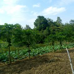Bare soil prepared for planting more Kales