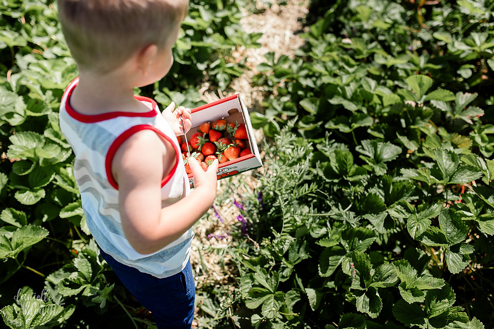 little boy picking strawberries at soegels orchard in pittsburgh
