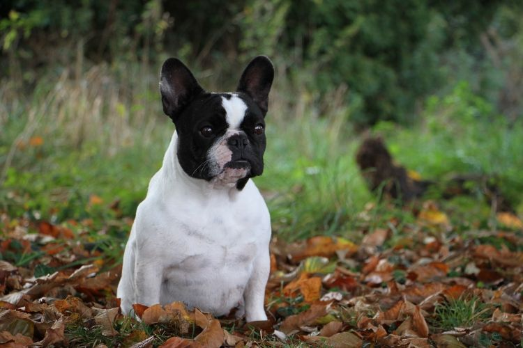 chiens-Bouledogue-fran-8d16abcf-80ea-7b8