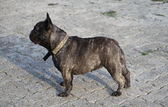 chiens-Bouledogue-fran-698bc582-148b-d9d