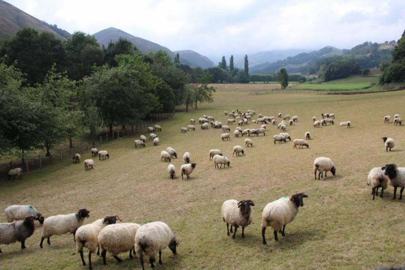 バスク地方 羊