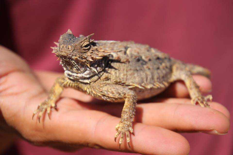 horned lizard Baja Cactimar Basse Californie desert eco ranch