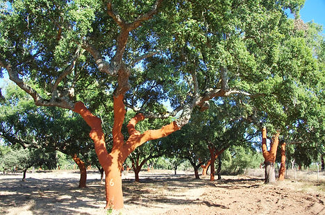 Stripped Cork Trees  at Portugal.jpg