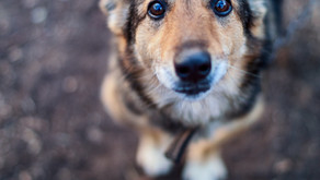 What are the laws for saving an abused or stray animal?