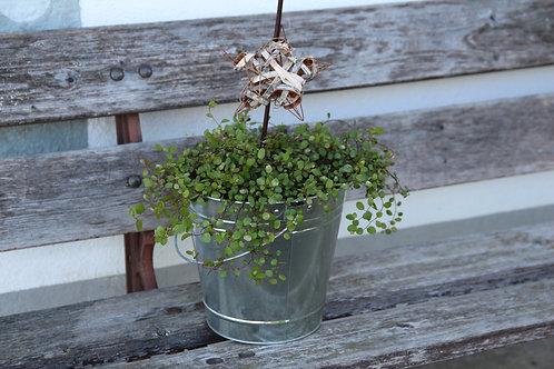 Grünpflanze in verzinktem Eimer