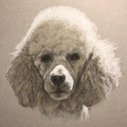 Poodle in sunlight