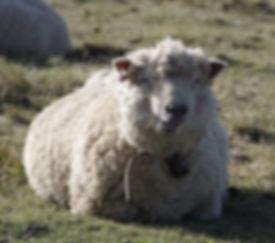 sheep-3189411_1280.jpg