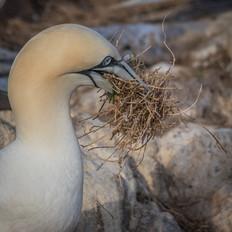 2019RFNHM_PDI_051 - Gannet Gathering for the Nest by Frances Price.