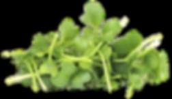 Broccoli Microgreen.png