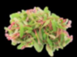 Swiss Chard Microgreen.png