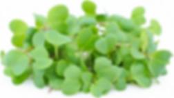 Radish Daikon Microgreen.png