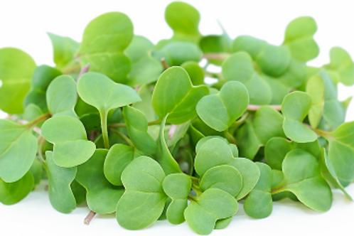 Radish Microgreen (R)
