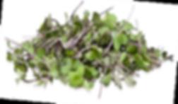 Kohlrabi Microgreen.png