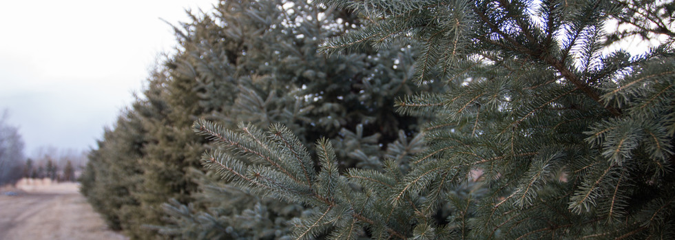 Mature White Spruce (not for sale) 4-6ft White Spruce available