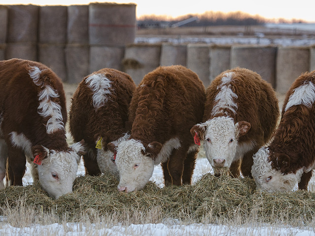 winter cattle program