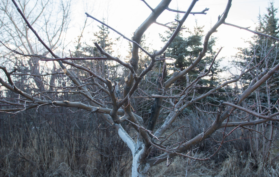Apple tree after Spring prune