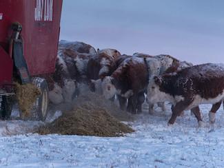 cattle nutrition for winter feeding