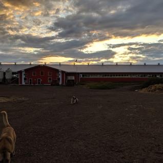 29,000 sqft Dairy Barn