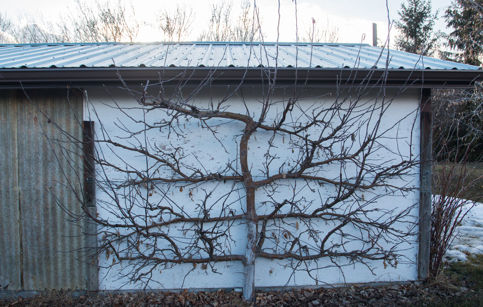 A big Apple Tree trained to grow in a small area, ready for Spring pruning
