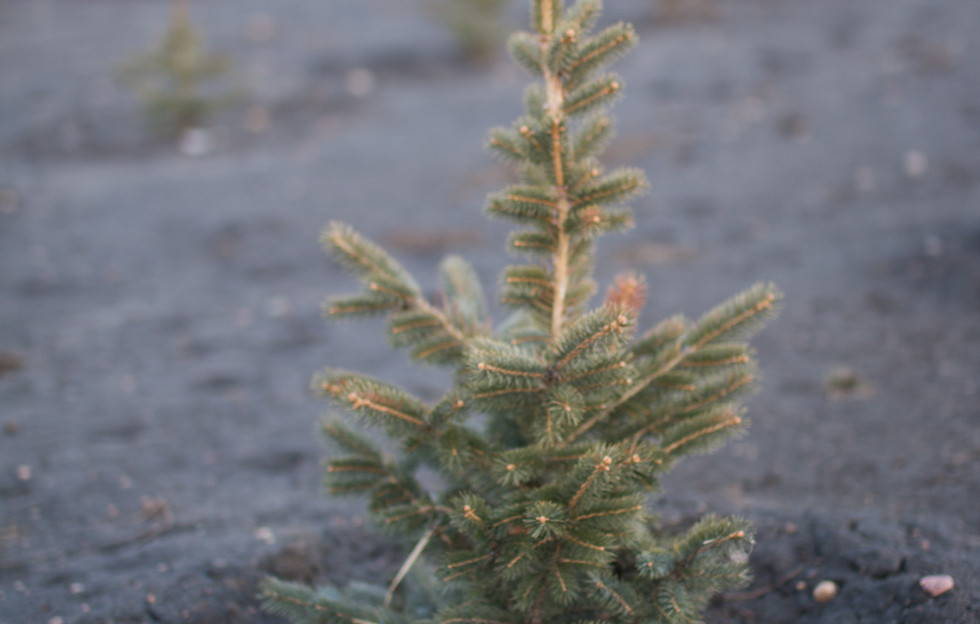 Baby White Spruce - With good Spring moisture all signs of winter stress is gone by June.