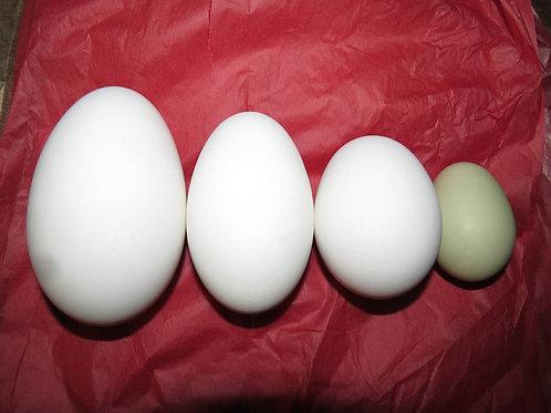 12 Fresh Sampler Sized Goose Eggs (1 Dozen)- US SHIPPING