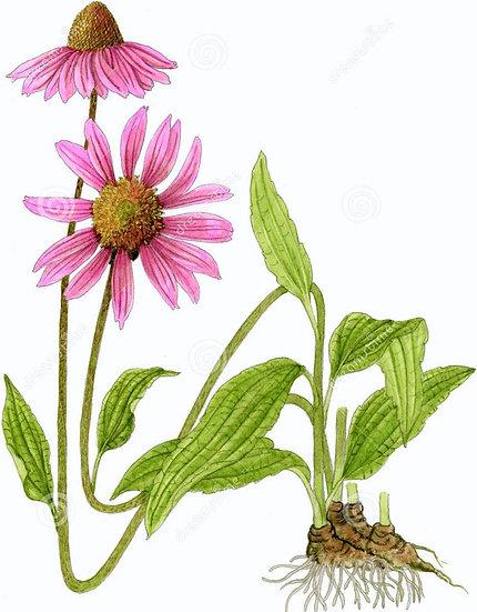 Škrlatni ameriški slamnik (glicerol)- Echinacea purpurea