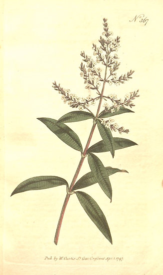 Bio-Citronka (list; kis)- Aloysia citrodora