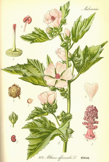 Beli slez (korenina, glicerol)