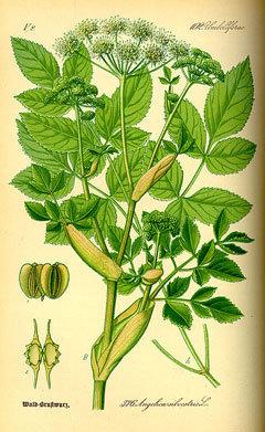 Bio-Angelika/ Navadni gozdni koren (korenika; vinski kis)- Angelica sylvestris