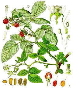 Malina (list)