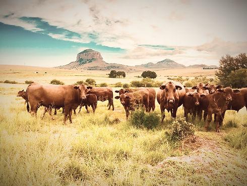 Curious Cattle Swinburne