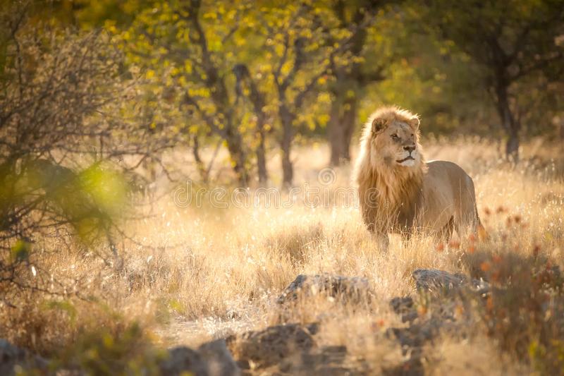 lion-sunrise-light-etosha-national-park-namibia-