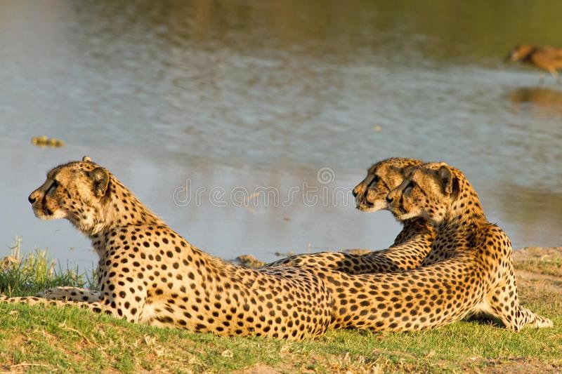 family-three-cheetahs-hwange-national-park