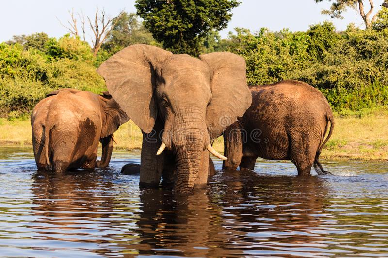 -african-elephants-chobe-national-park-botswana-africa-