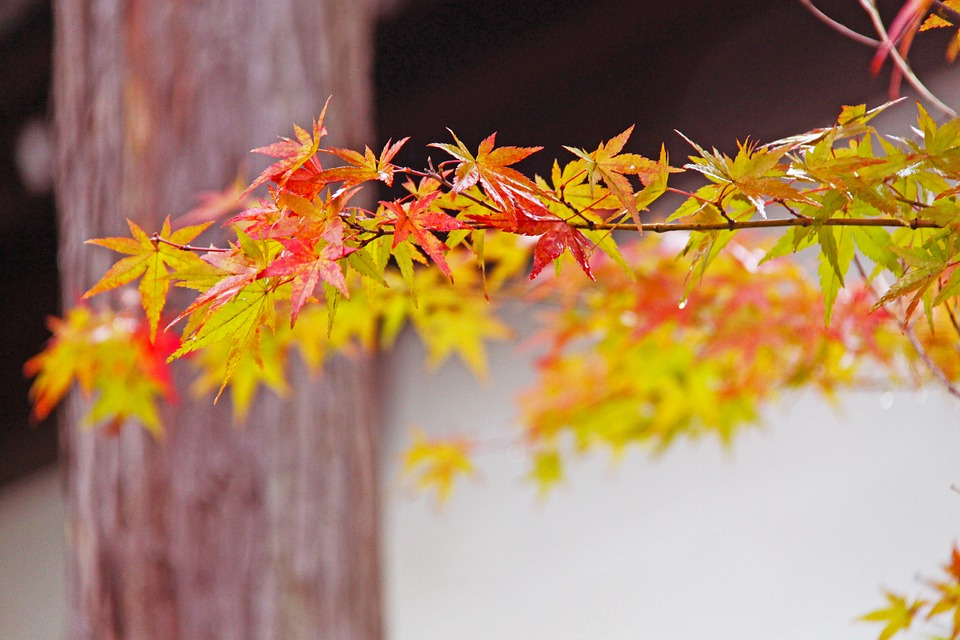 fall foliage, Kyoto